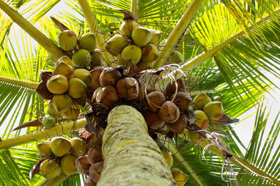 kokosnuesse-am-strand
